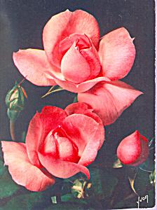 Jolies Roses De France Centenaire De Lourdes cs4245 (Image1)