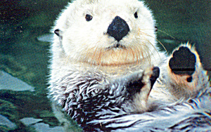 California Sea Otter (Image1)