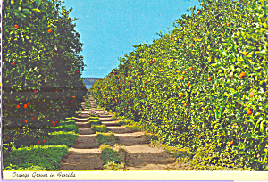 Orange Groves in Florida Postcard cs4653 (Image1)