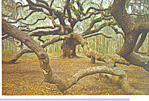 The Angel Oak John s Island South Carolina cs4715 (Image1)