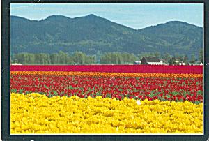 Skagit Valley Tulip Fields Washington cs4943 (Image1)