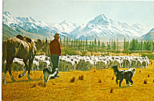 Flock Sheep at Glentanner Station, Canterbury, NZ (Image1)