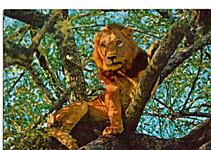African Wild Life Male Lion Climbing Tree Postcard cs5109 (Image1)