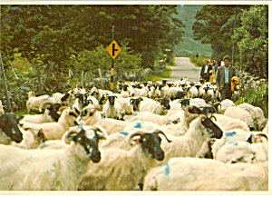 Flock Sheep on Road to Maam Cross Connemara Ireland cs5124 (Image1)