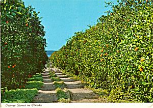Orange Groves in Florida cs5431 (Image1)