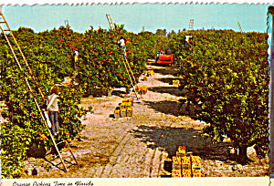 Orange Picking Time in Florida cs5449 (Image1)