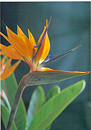The Bird of Paradise Hawaii cs5534 (Image1)
