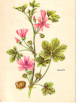 Malva Postcard Cs6021