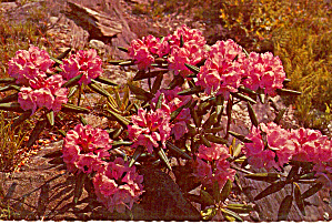 Rhododendron State Flower West Virginia Cs6151