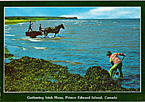 Gathering Irish Moss Prince Edward Island Canada Cs6167