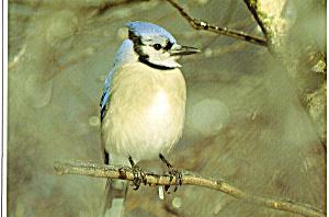 Blue Jay Postcard cs6286 (Image1)