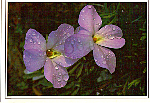 Birdfoot Violet Postcard cs6314 (Image1)