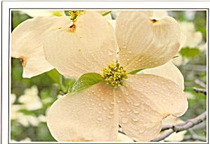 Creamy White Dogwood Postcard cs6316 (Image1)