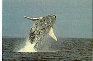 Humpback Whale (Image1)