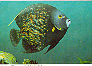 French Angelfish (Image1)