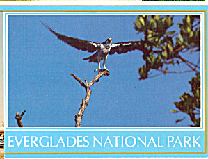 Osprey, Everglades National Park (Image1)