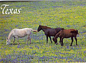 Horses andTexas State Flower Bluebonnets cs6532 (Image1)