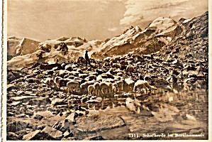 Sheep Herding on Berninamassiv 4048m  Switzerland  cs6695 (Image1)
