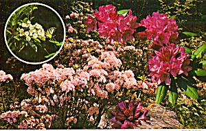 Pensylvania State Flower Mountain Laural And Rhododendron Cs6733