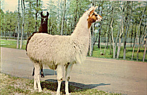 Llamas at Great Adventure, Jackson, New Jersey (Image1)