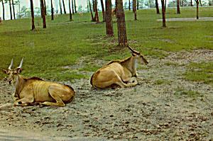 Elands at Great Adventure, Jackson NJ Postcard cs6747 (Image1)
