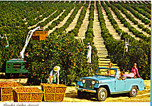 Orange Pickers in Florida Groves cs6786 (Image1)