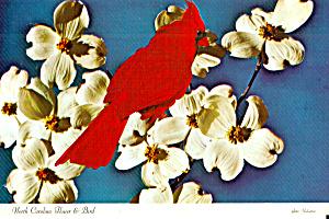 The Cardinal North Carolina State Bird cs6909 (Image1)