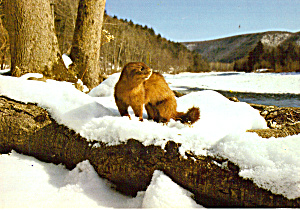 MInk Along A Winter Stream (Image1)
