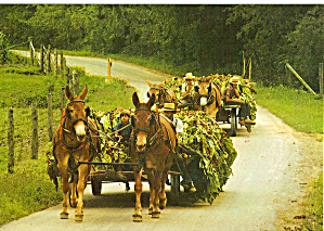 Freshly Cut Tobacco in Mule Drawn Wagons Amish cs6970 (Image1)