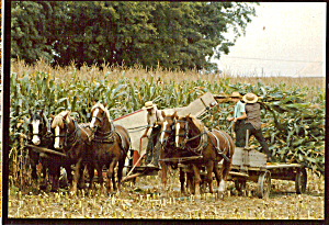 Amish with Teams of Belgians Harvesting Corn cs7024 (Image1)