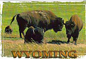 Bison Buffalo, Wyoming (Image1)