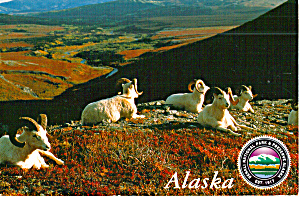 Dali Sheep, Denali National Park, Alaska (Image1)