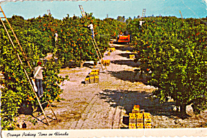Picking Oranges in The Groves of Florida cs7459 (Image1)