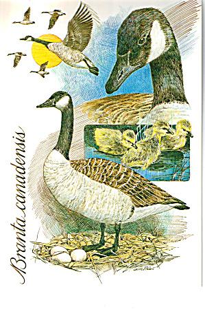 Canada Geese Branta Canadensis Postcard cs7499 (Image1)