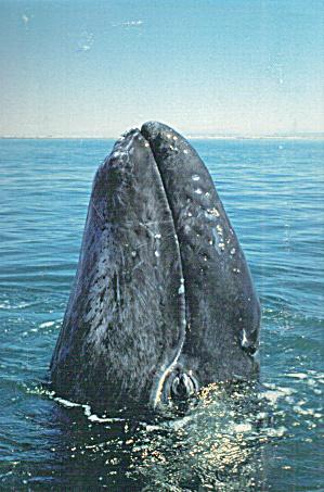 Newborn Grey Whale Spy Hopping San Ignacio Lagoon Baja CA cs7595 (Image1)