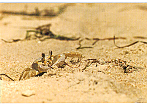 Ghost Crab Outer Banks North Carolina Cs7637