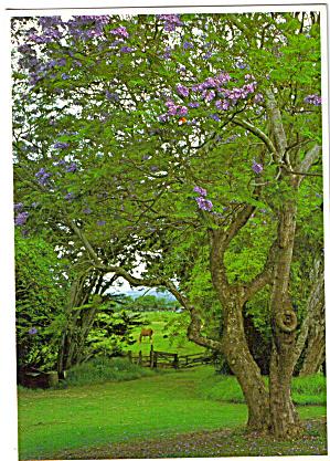 Jakaranda Tree on Maui Hawaii cs7743 (Image1)