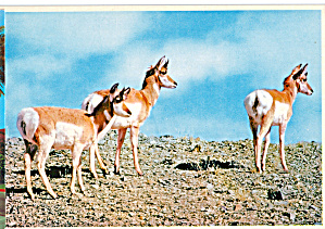 Group of Pronghorns (Image1)
