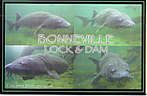 Bonneville Dam White Sturgeon (Image1)