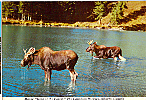 Northwestern Moose Postcard Cs8086