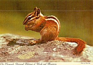 Chipmunk On Alert Postcard Cs8092