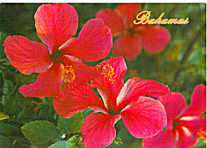 Hibiscus of the Bahamas (Image1)