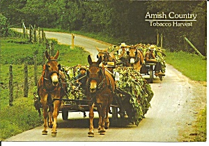 Wagons of Freshly Harvested Tobacco Amish Country cs8225 (Image1)