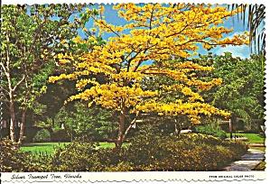 Silver Trumpet Tree Florida cs8309 (Image1)