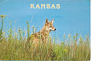 Coyote In Marion County Kansas Cs8377