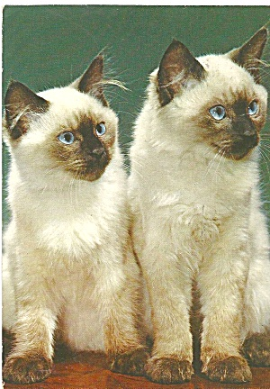 Two Siamese Cats Postcard Cs8448