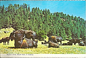 Black Hills South Dakota Buffalo Herd Cs8468