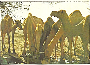 Camels Drinking at the Well Postcard cs8472 (Image1)