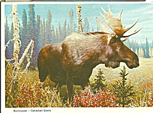 Bull Moose Canadian Scene Postcard Cs8476