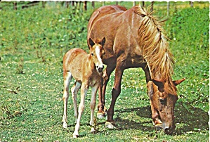 Mare And Her Colt In Clover Postcard Cs8620